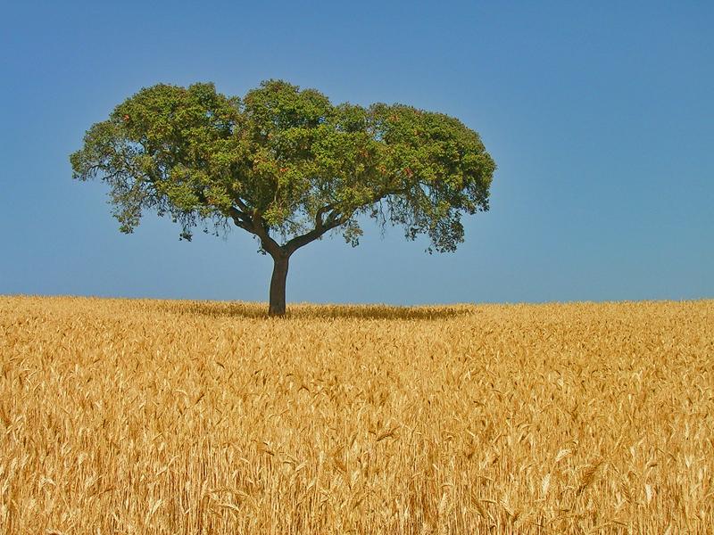 самотно дърво