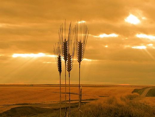 жито и залез