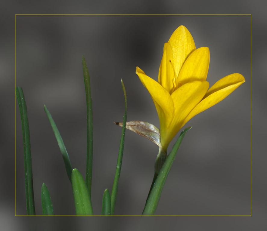 Жълт минзухар