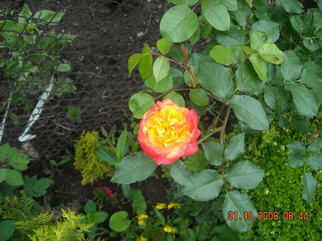 роза от моята градина