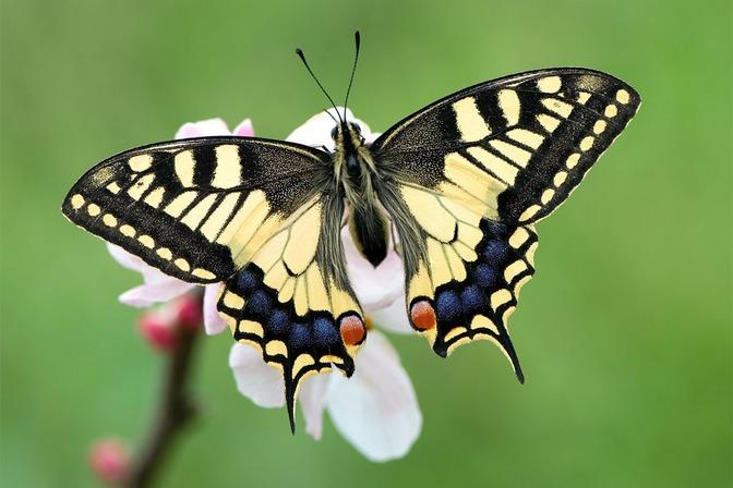 Mariposa-Papilio.jpg